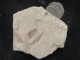 LEAVES - LOWER MIOCENE TURKEY